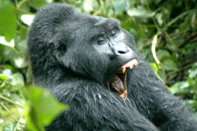 Africa Safaris: 12-day Big Game and Gorilla Safari through Kenya and Uganda